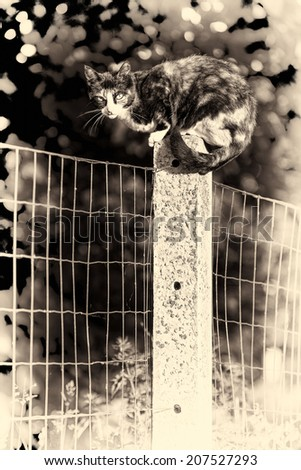 Sepia toned fine art portrait of domestic cat. Between two gardens an adult tortoise-shell female cat perched on a concrete post looking at camera - stock photo