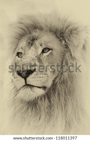Sepia Toned Image of a Lion Face - stock photo