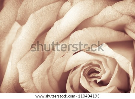 Sepia toned rose with grain, macro - stock photo