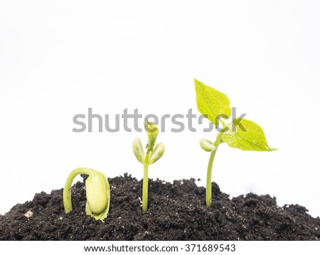 Sequence of bean seeds germination in soil - stock photo