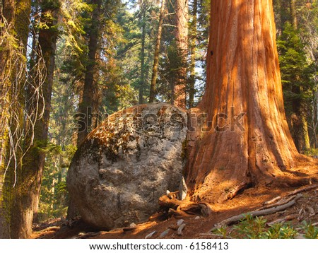 Sequoia growing next to and over a huge boulder - stock photo