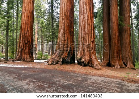 Sequoia National Park - Giant Forest - stock photo