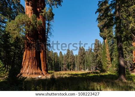 sequoia tree compare to other trees - stock photo