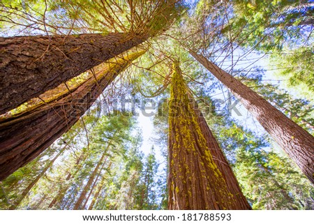 Sequoias in California view from below at Mariposa Grove of Yosemite USA - stock photo