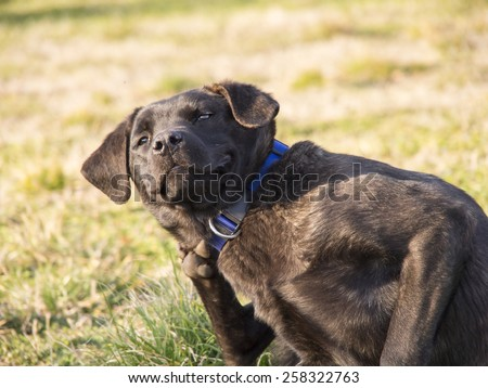 Serbian defense dog mixture of wolf, Mastiff, Rottweiler, Terrier - stock photo