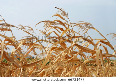 Sere Corn Plants. Dry Corn Stalks against the Sky. - stock photo