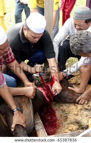 SEREMBAN - NOVEMBER 17:(EDITOR'S NOTE: GRAPHIC) Malaysian Muslims help in slaughtering a cow during Eid Al-Adha Al Mubarak, the Feast of Sacrifice November 17, 2010 in Seremban, Malaysia. - stock photo