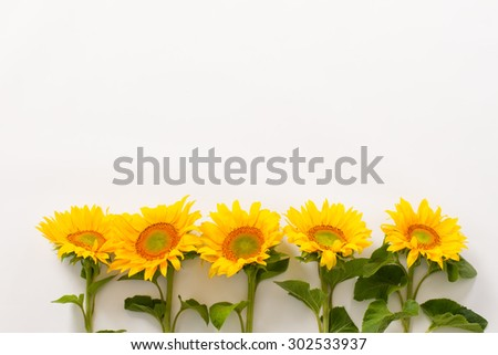 Series of beautiful sunflowers on a white background. - stock photo