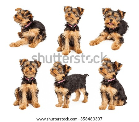 Series of images of an adorable little teacup Yorkshire Terrier puppy dog wearing a pink collar in different positions over white. - stock photo