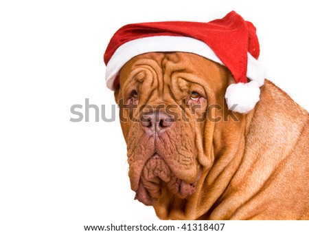 Serious Big Dog in Santa Hat - stock photo