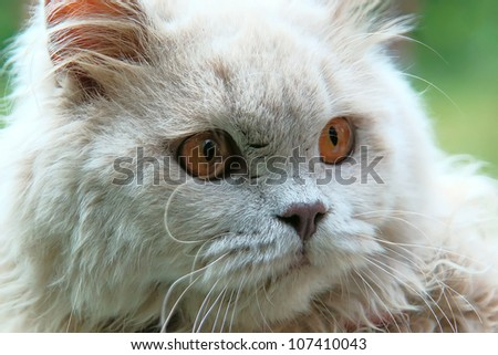 Serious British cat - stock photo