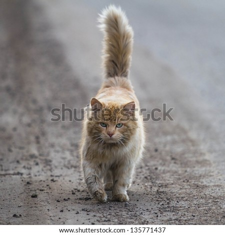 Serious cat walking towards the camera - stock photo