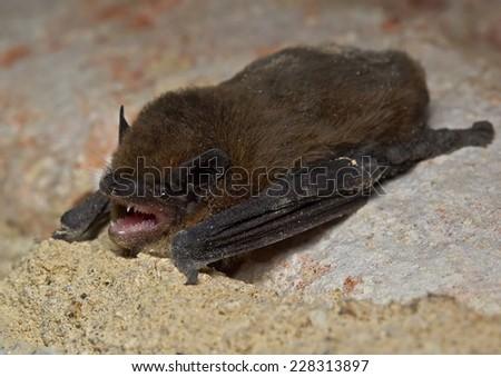 serotine bat (Eptesicus serotinus) - stock photo