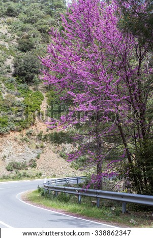 Serpentine highway turn with blossoming Cercis siliquastrum (Judas tree) on roadside. Cyprus.  - stock photo