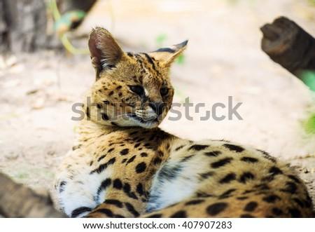 serval cat - stock photo