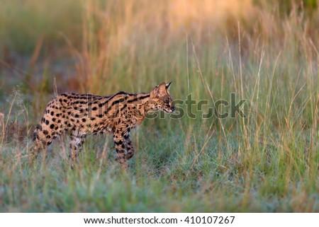 Serval cat in the high grass at sunrise in Masai Mara - stock photo