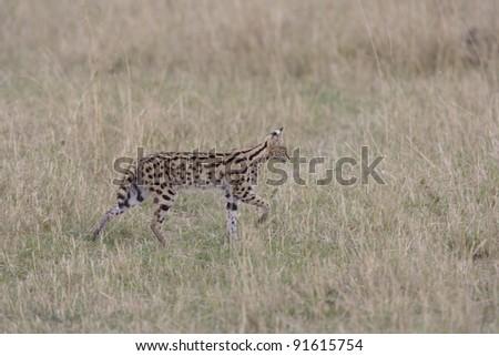 Serval in the Masai Mara, Kenya - stock photo