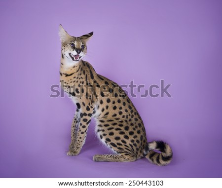 serval kitten playing in the studio on a colored background isolated - stock photo