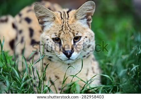 Serval Wild Cat in the African savanna - stock photo