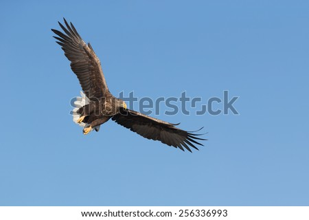 Set against a vivid blue winter sky this White-tailed Eagle is making a dive to catch its food from the cold waters off the Norwegian coast. - stock photo