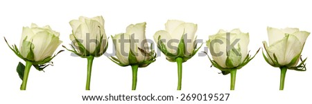 Set Beautiful roses with rain drops isolated on white background. Overhead view. - stock photo