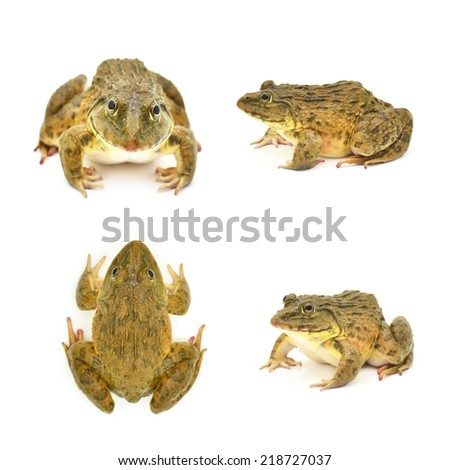 Set close-up Tropical Frog. on White background  - stock photo