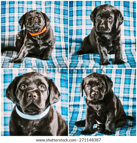 Set Collage Beautiful Black Labrador Puppy Puppies Dog Sitting On Blue Plaid Background - stock photo