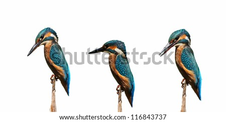 Set Common Kingfisher isolated on white background, alcedo atthis - stock photo