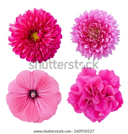 Set four pink flowers. Pink aster, dahlia, lavater, petunia isolated on white background - stock photo