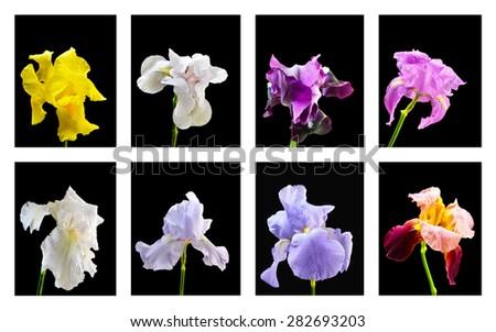 Set Iris flower - stock photo