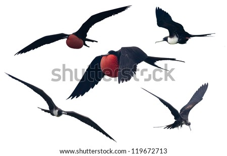 Set of a Great Frigatebird isolated on white. - stock photo
