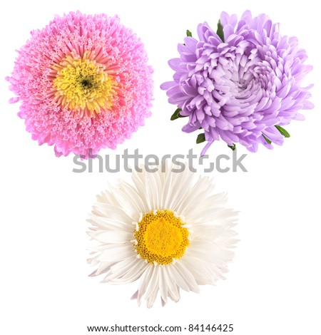 set of aster flowers isolated on white - stock photo