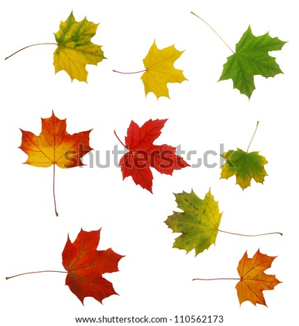 Set of autumn maple leaves - stock photo