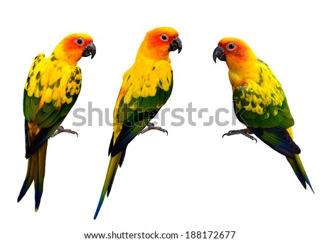 Set of Beautiful Sun Conure, the colorful yellow parrot birds isolated on white background - stock photo