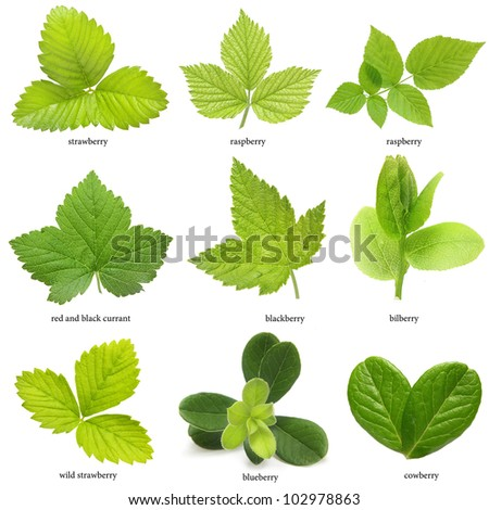 Set of berry leaves isolated on white background - stock photo