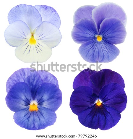 set of blue pansy on white background - stock photo