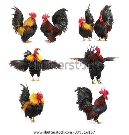 Set of chicken bantam  isolated on white background - stock photo