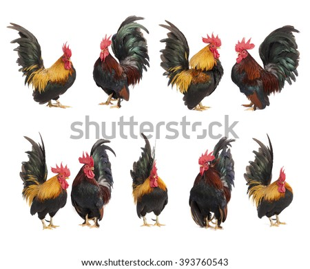 Set of chicken bantam  isolated on white background - stock photo