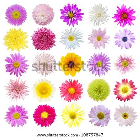 Set of Chrysanthemum daisies - stock photo
