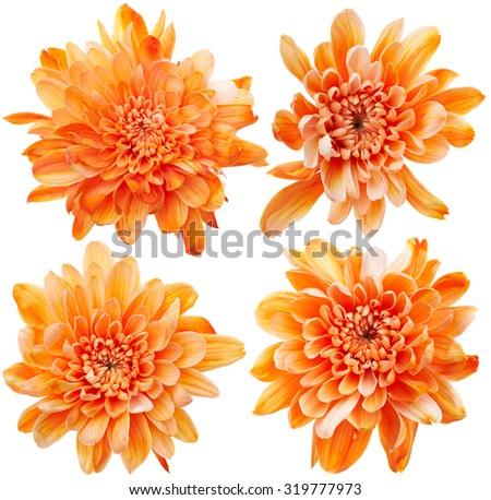 Set of chrysanthemum flowers isolated on white background - stock photo