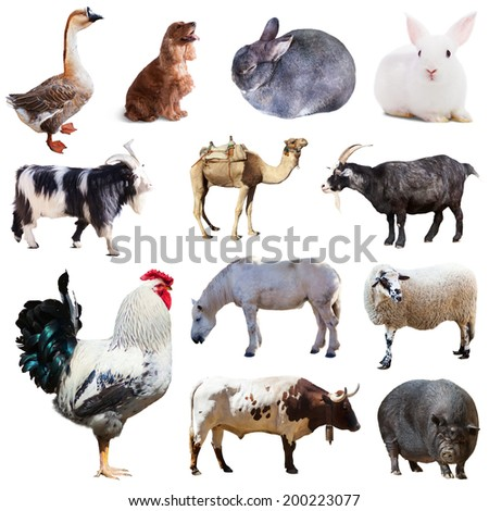 Set of cock and other farm animals. Isolated over white background  - stock photo
