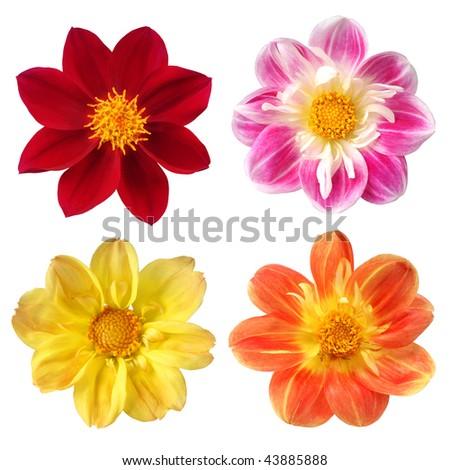 set of colorful dahlia on white background - stock photo