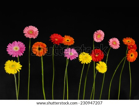 Set of colorful gerbera flowers on black background - stock photo