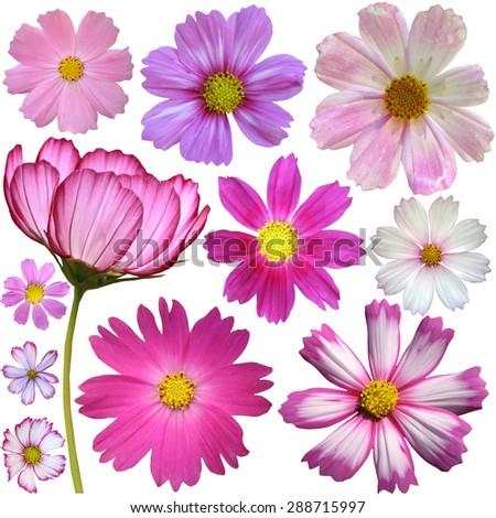 Set of cosmos flowers - stock photo