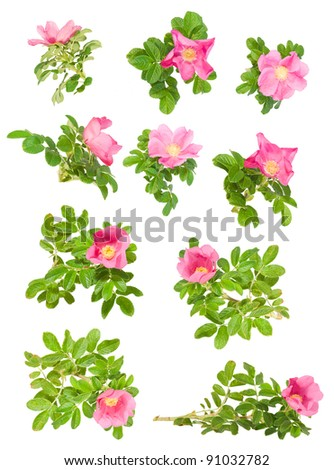 set of different pink briar flowers  isolated on white - stock photo