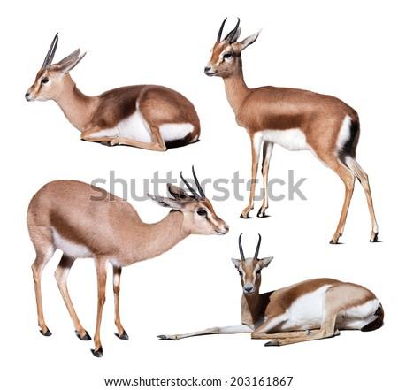 Set of dorcas gazelles.  Isolated on white with shade - stock photo