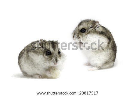 Set of dwarf hamsters on white background - stock photo