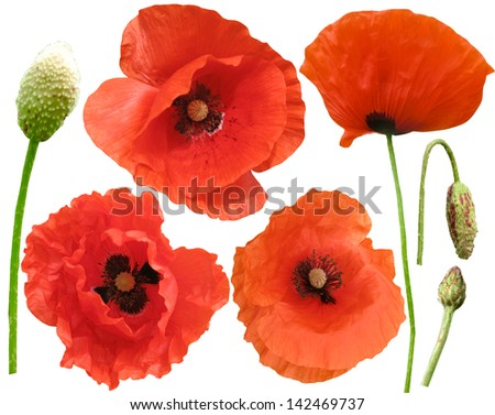 Set of field poppies. Isolated on white - stock photo
