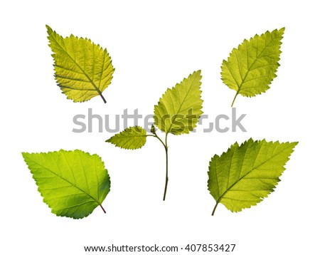 Set of five green birch leaves isolated on white - stock photo