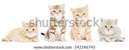 set of four british shorthair kitten cat on white background - stock photo